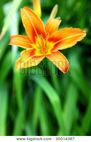 Orange Lily On Green Background In The Garden