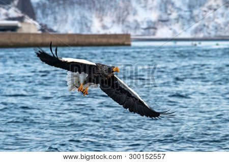 Steller's Sea Eagle  In Flight, Eagle With A Fish Which Has Been Just Plucked From The Water In Hokk
