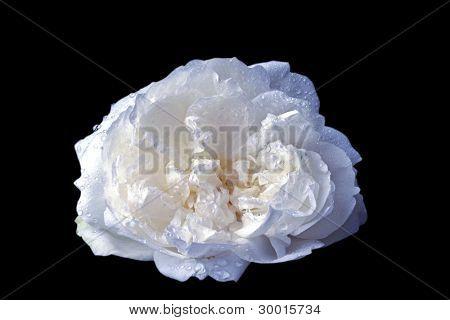 Wild white rose on a black background