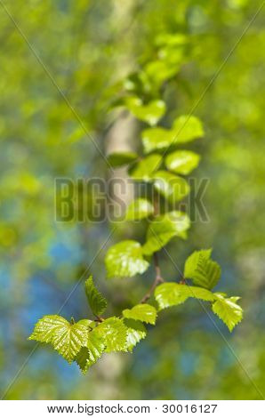 Young leaves of birch.