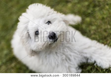 White Poodle Puppy Playing In The Garden Outdoors