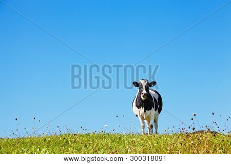 Lonely cow on the meadow against blue sky background