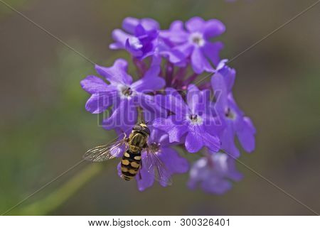 Close-up Detail Of A Hover Fly Eupeodes Corolla On Purple Elizabeth Earle Flowers Primula Allionii I
