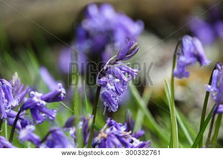 Native Bluebell Flowers In An English Woodland