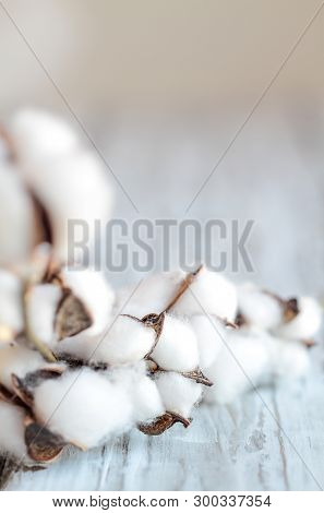 Abstract Composition Of Cotton Boll Flowers On Stem. Blurred Foreground And Background With Selectiv