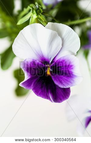 Purple And White Potted Pansy, Also Know As Viola Tricolor Variety Hortensis, Blossom With Blurred B