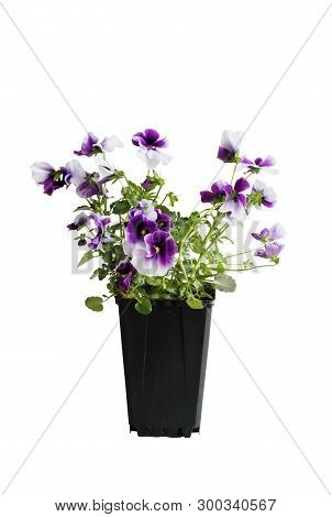 Purple And White Potted Pansy, Also Know As Viola Tricolor Variety Hortensis, Isolated Over A White