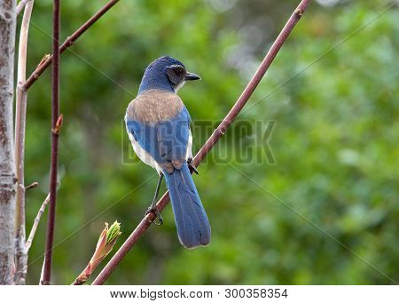 Profile Of A California Scrub Jay Facing Away From Viewer Sitting In A Tree With Green Trees In Back
