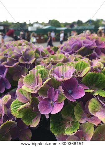 Hydrangea Macropyhlla Magical Amethyst In Bloom At Wimbledon Tennis Championships