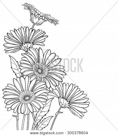 Vector Corner Bouquet Of Outline Gerbera Or Gerber Flower In Black Isolated On White Background. Bun