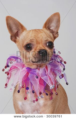 Portrait of a Chihuahua wearing a fancy collar poster