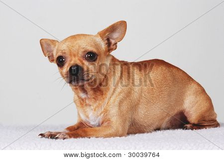Scared Chihuahua dog