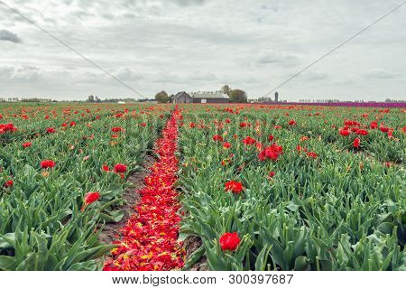 Converging Rows Of Red Flowering Tulips From Which Most Of The Flower Heads Have Already Been Cut Of