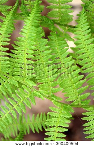 Woodsy Image Of Leaves On Fern Plants, Bright Green In New Growth Of Springtime Weather.