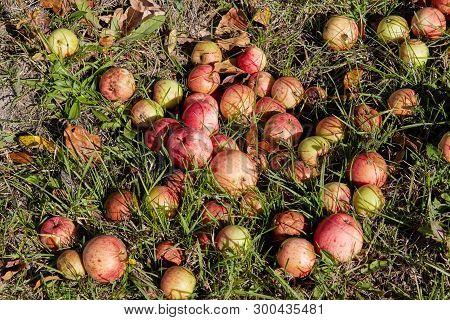 Red Apples On The Grass Under Apple Tree. Autumn Background - Fallen Red Apples On The Green Grass G