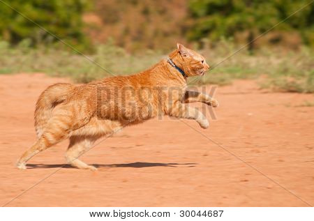 Orange tabby cat running across red sand in full speed poster