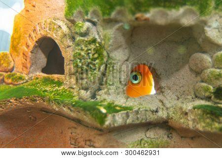 Aquarium Fish Red Parrot Hid In A Cave
