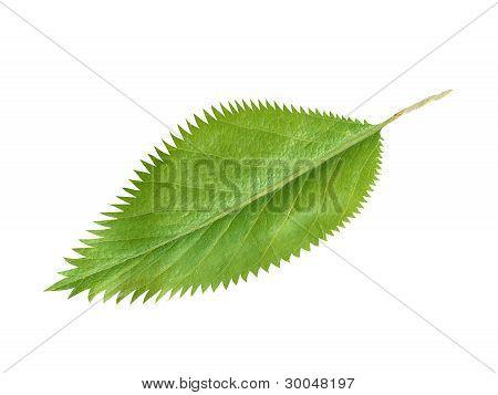 Green fresh leaf isolated on white background