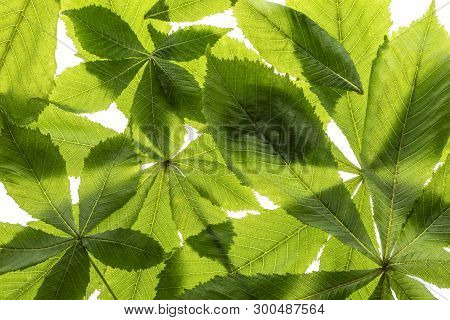 Leaf From Horse Chestnut Tree - Aesculus Hippocastanum