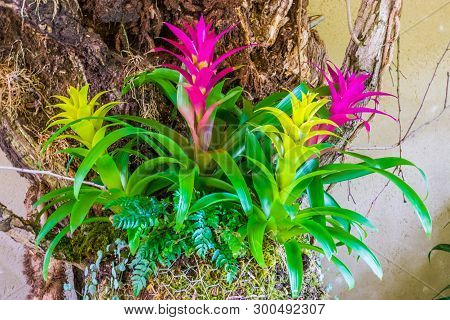 Colorful Guzmania Flowers In The Colors Pink And Yellow, Tropical Decorative Artificial Plants