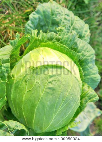 Growing Cabbage In The Garden