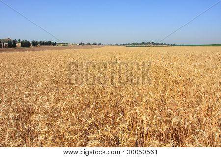Horizontal oriented image of wheat field ready for harvesting under blue sky in Israel.