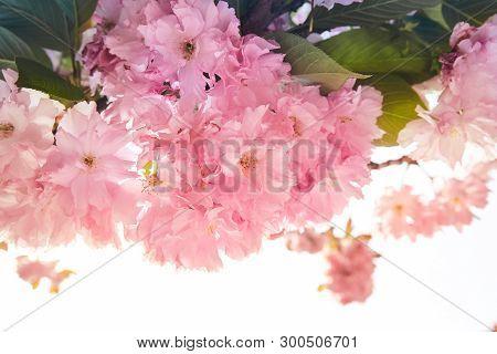 Background Of Spring Blooming Pink Sacura Tree