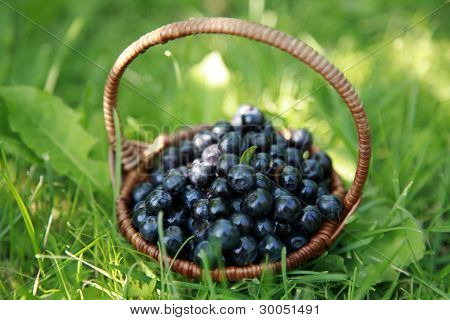 Basket Blueberries On The Green Grass