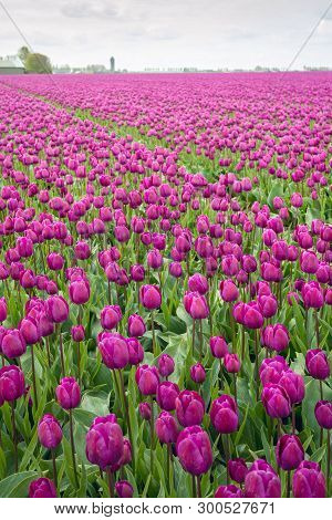 Purple Colored Tulips In Flower Beds At A Specialized Dutch Bulb Nursery. It Is A Cloudy Day In  Spr