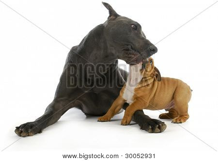 big and small dogs - great dane playing with small bulldog puppy