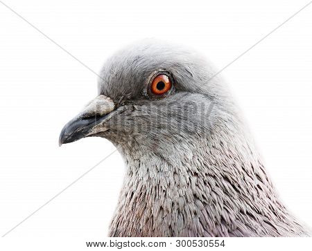 Close-up Common Grey Pigeon In High Key Against White Background With Place For Your Text. Shallow D