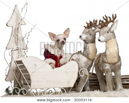 Chihuahua, 7 months old, in Christmas sleigh in front of white background