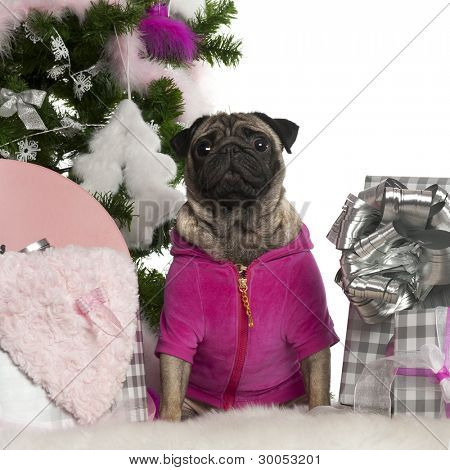 Pug, 3 years old, with Christmas tree and gifts in front of white background