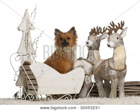 Chihuahua, 10 months old, German Spitz puppy, 5 months old, in Christmas sleigh in front of white background