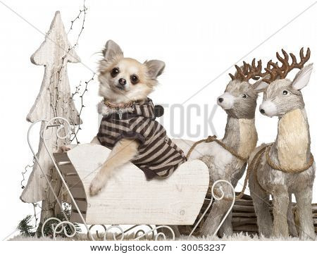 Chihuahua, 3 years old, in Christmas sleigh in front of white background