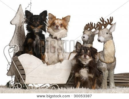 Chihuahuas, 2 years old and 18 months old in Christmas sleigh in front of white background