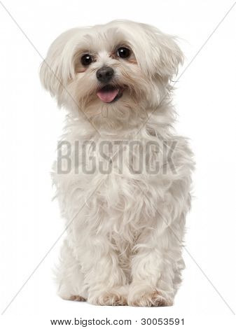 Maltese, 6 years old, sitting in front of white background