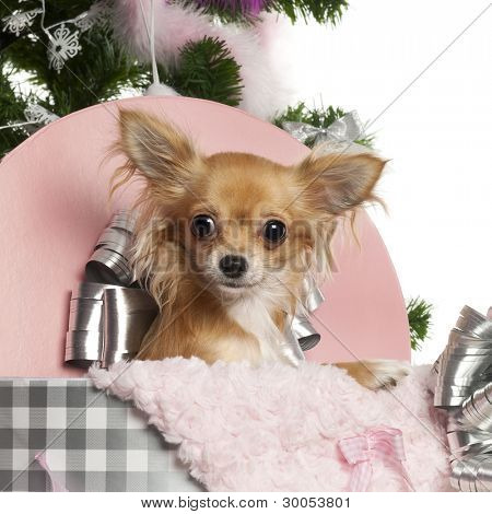 Chihuahua, 1 year old, getting out a box with Christmas tree and gifts in front of white background