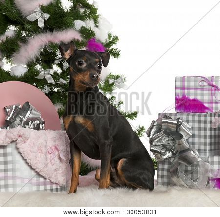 German Pinscher, 2 years old, with Christmas tree and gifts in front of white background