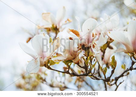 A Beautiful Flowers  On Branch, Sring Tree In Park