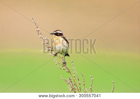 Stonechat. A Small Birdie, The Size Of A Robin, Is Sitting In A Thin Grass Sprig, In Summertime, Amo