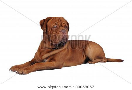 Bordoss Dog Lying Isolated On White