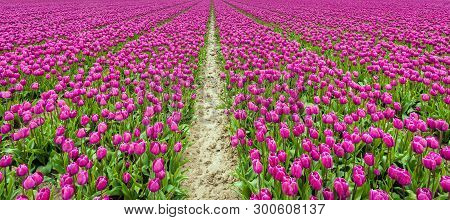 Endless Rows Of Dark Pink Flowering Tulips At A Large Dutch Bulb Nursery On The Former Island Of Goe