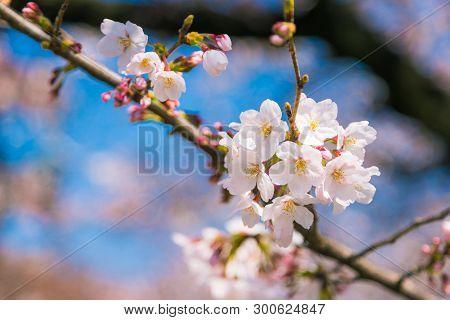 Cherry Blossom Or Sakura In Kyoto, Japan