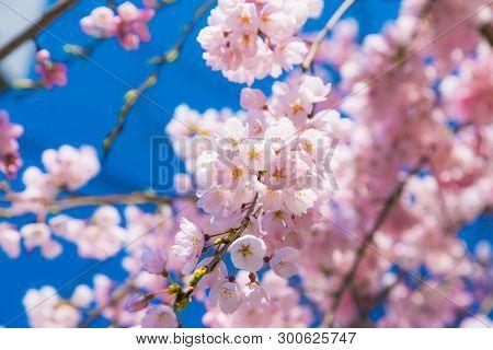 Cherry Blossom (sakura) Around Philosopher's Walk  In Spring, Kyoto, Japan.