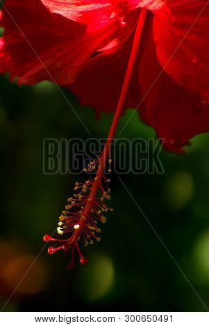 Stamens And Pollen On Stalks Holding Long Pollen Of Red Hibiscus Flower
