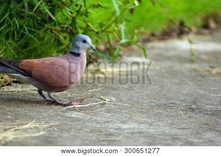 Red Collared Dove Walked Out Of The Meadow Along The Concrete Road. To Find And Pick Some Dried Gras