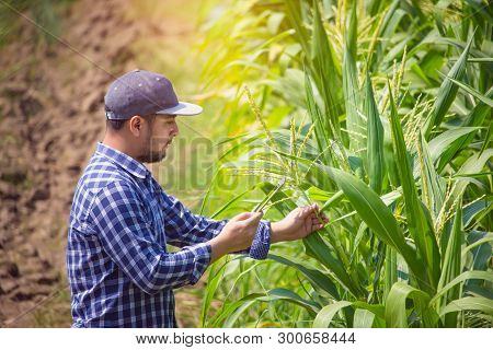 Smart Farming, Farmer Using Digital Tablet Computer In Corn Field, Cultivated Corn Plantation Before