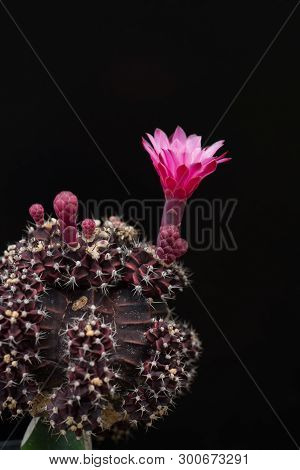 Cactus In A Pot On Blackboard Background, Succulent Plant