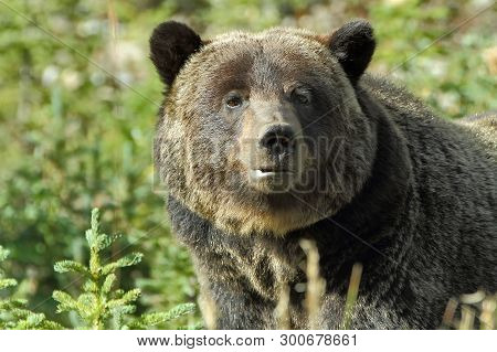 Brown Bear. Bear (ursus Arctos) Is A Predatory Mammal Of The Bear Family. One Of The Largest Land Pr
